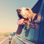 Traveling with dogs – Buckle up your pup!